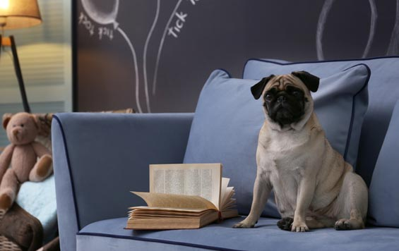 Picture of of a pug on a blue sofa