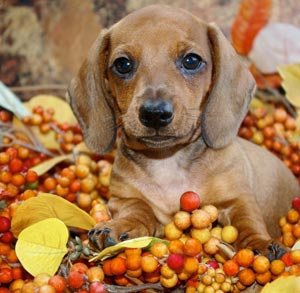 Picture of of a dachshund outside