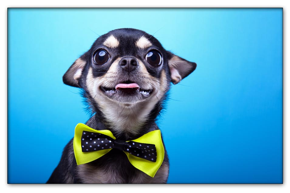 Picture of a dog with a bowtie