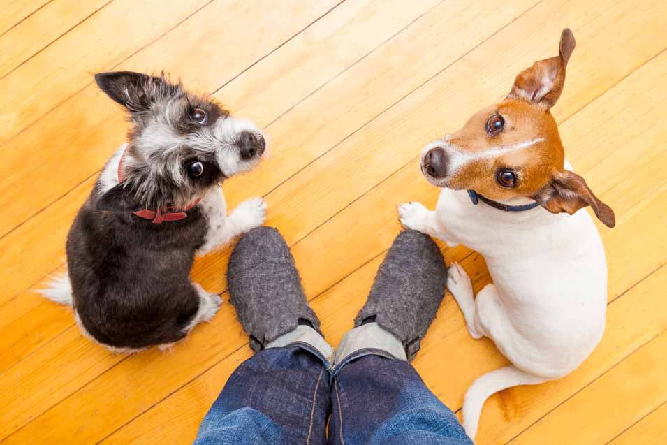 Picture of of dogs on hardwood floor