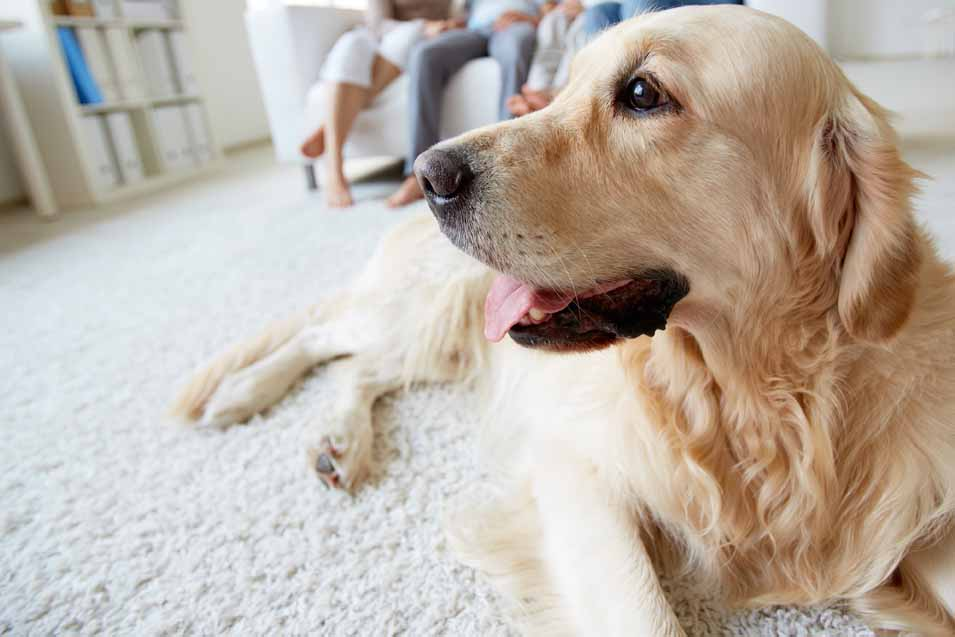 Picture of Golden Retriever in the living room