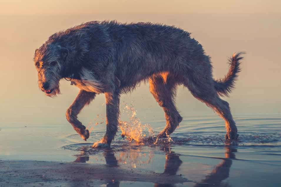 Picture of a Irish Wolfhound at the beach
