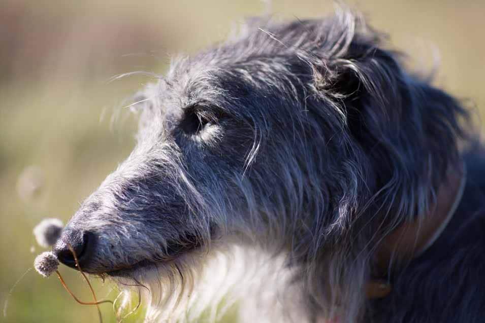 Picture of a Scottish Deerhound