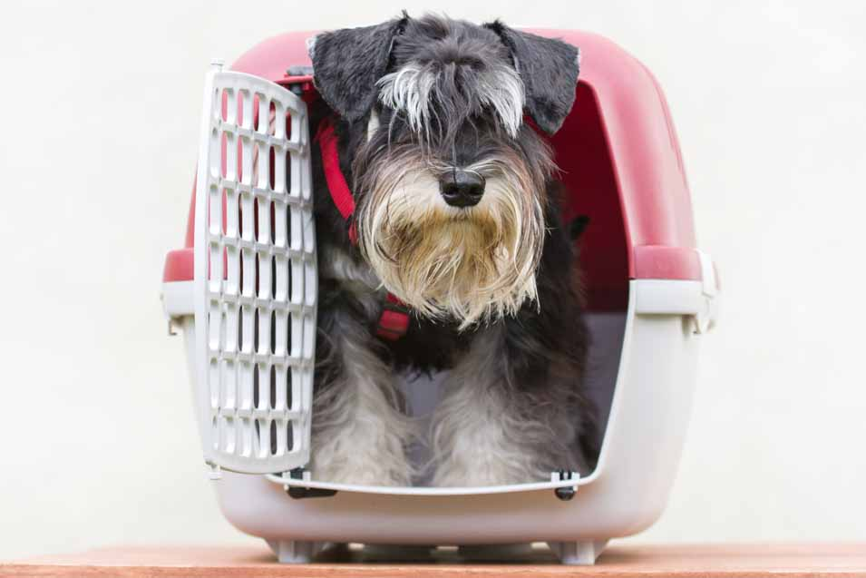 Picture of Schnauzer in a crate