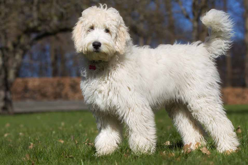 Picture of labradoodle