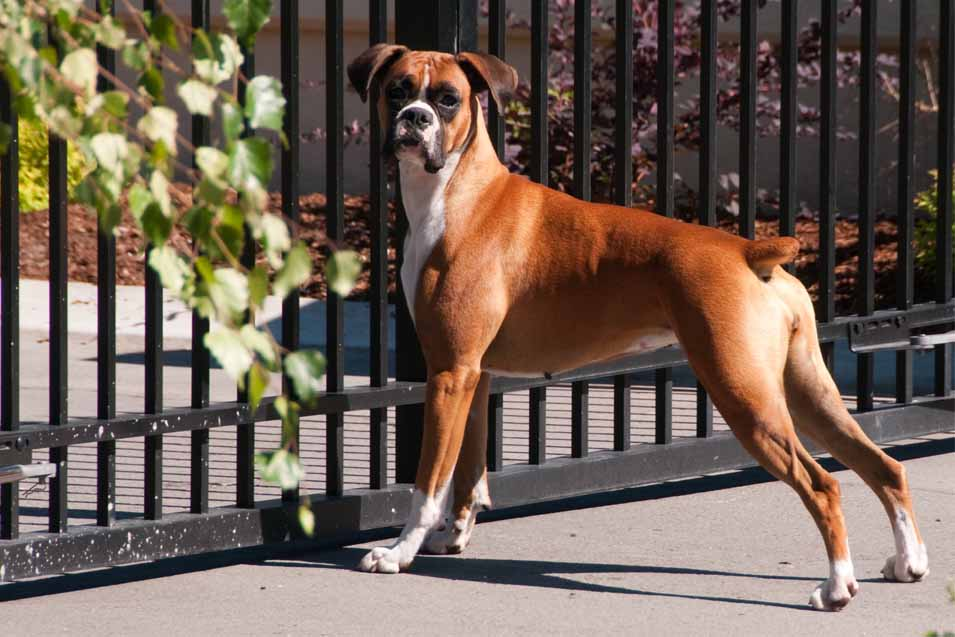 Picture of Boxer Dog by a metal fence