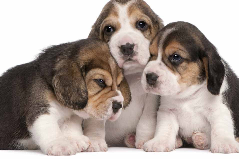 Picture of 3 puppies