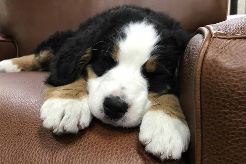 Picture of a Bernese Mountain Dog on a leather sofa