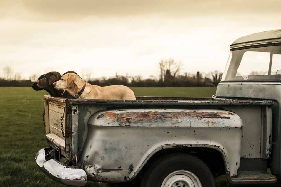 Picture of dogs in the back of a old truck