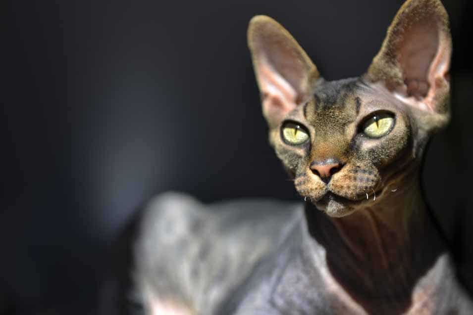 Picture of a Sphynx Cat