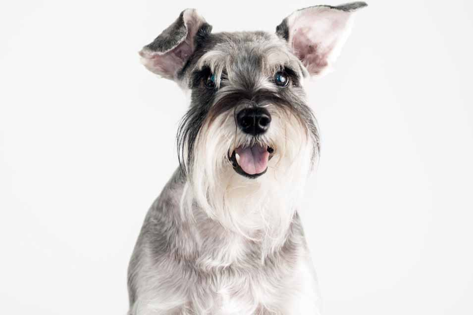 Picture of Schnauzer