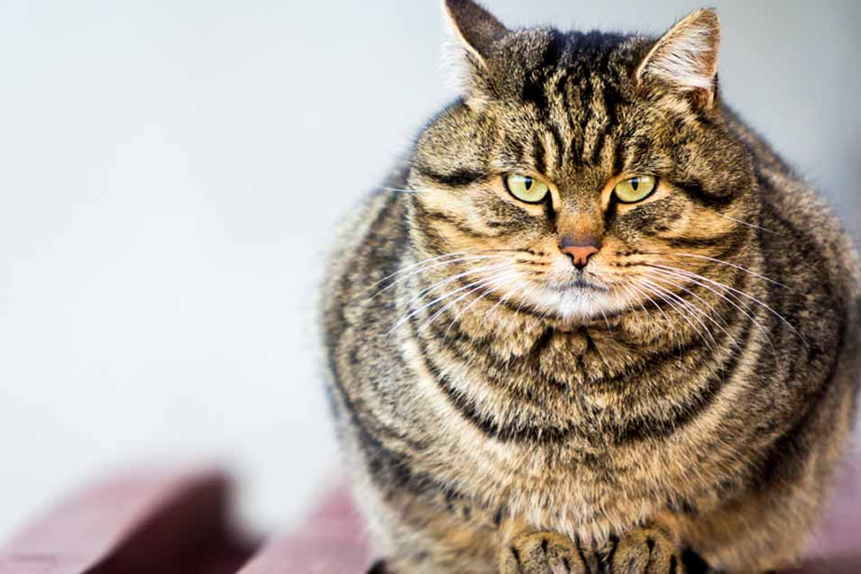 Picture of a fat cat
