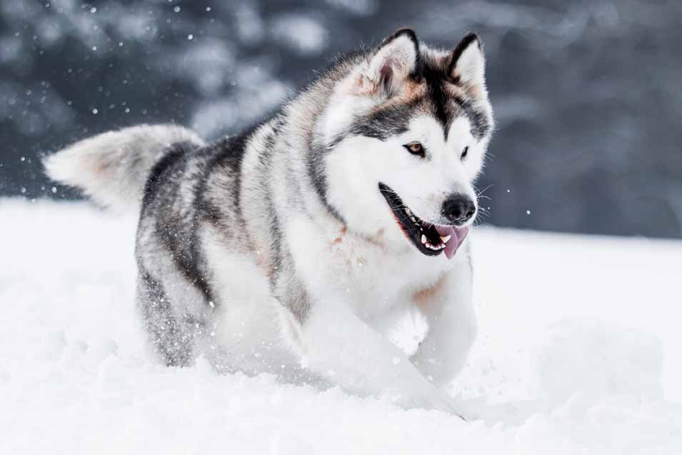 Picture of Husky in the snow