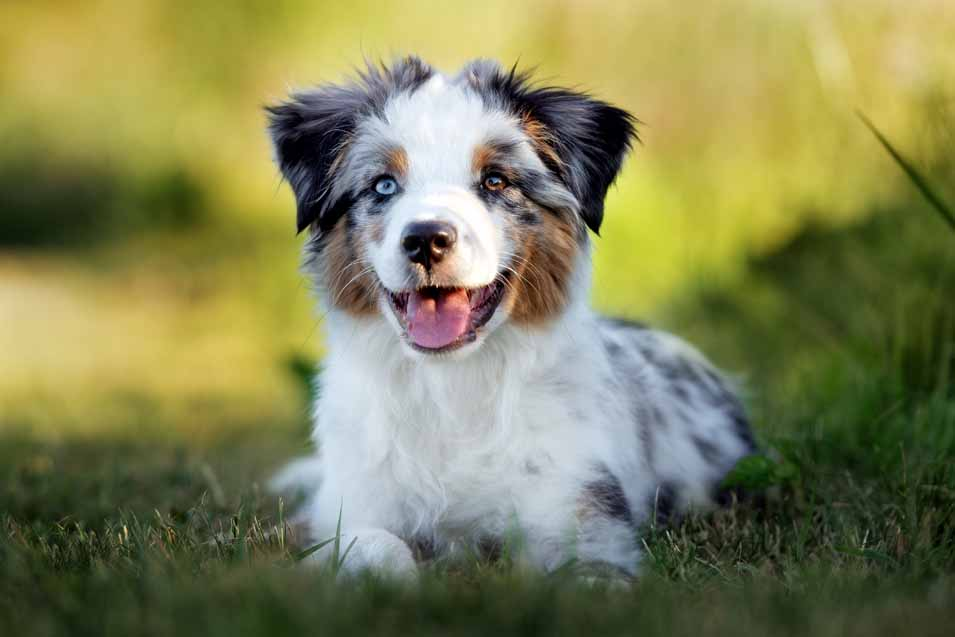 Picture of a Australian Shepherd puppy on the grass