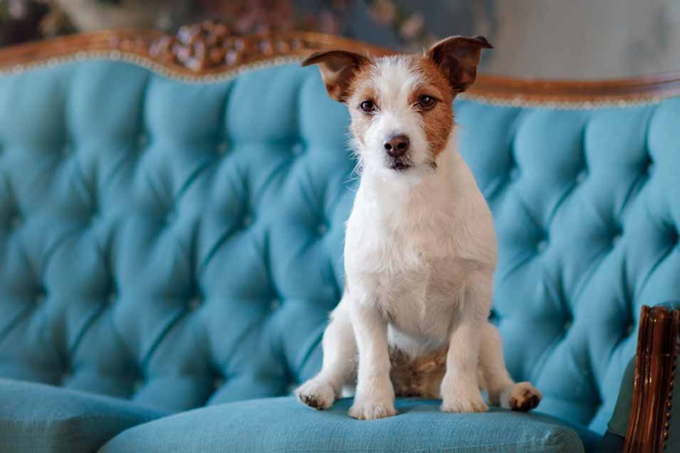 Picture of a Jack Russel Terrier on a blue sofa