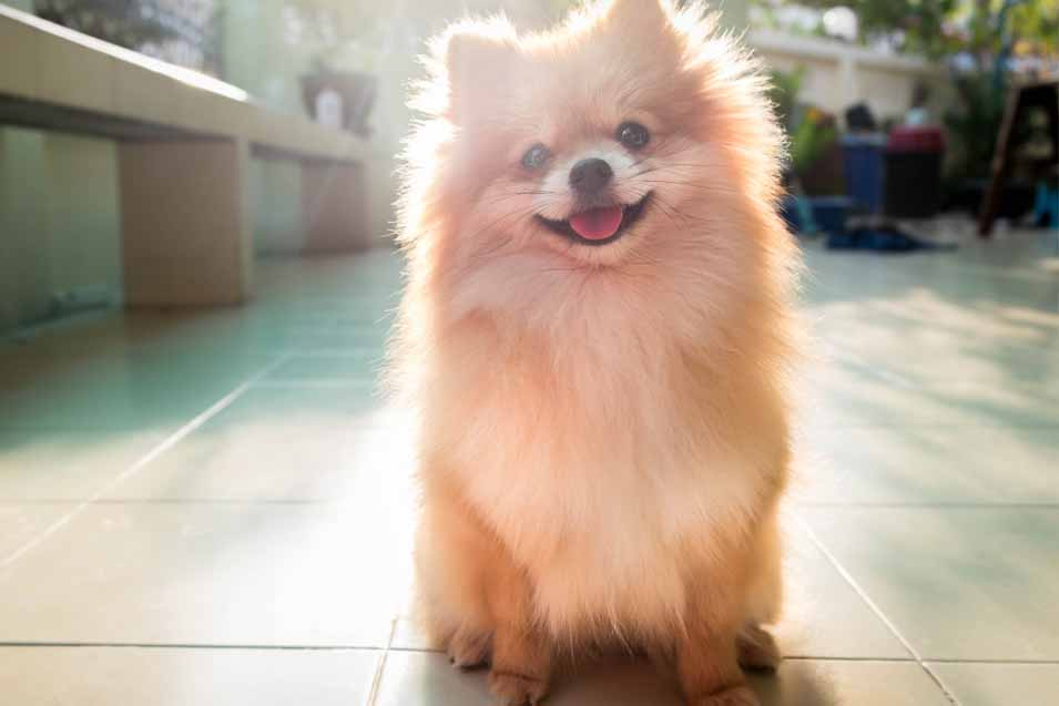 Picture of a Pomeranian sitting on the floor