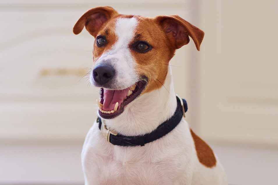 Picture of a brown and white Jack Russell Terrier