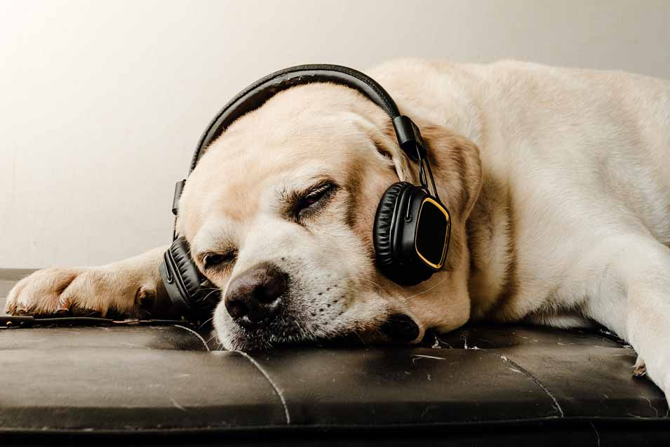 Picture of a dog wearing headphones