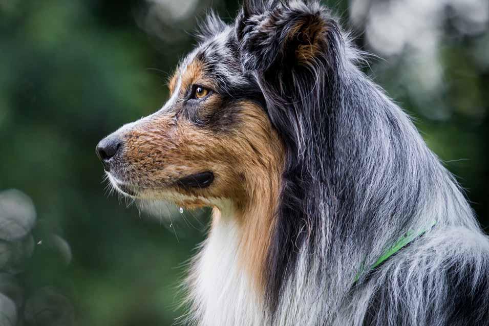 Picture of an Australian Shepherd