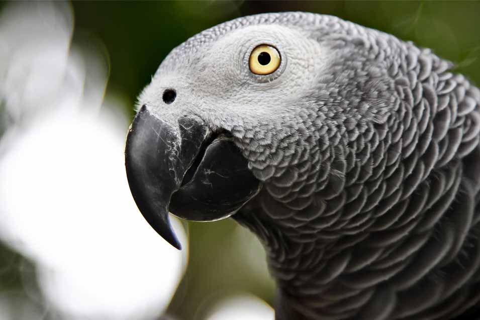 Picture of an African Grey Parrot
