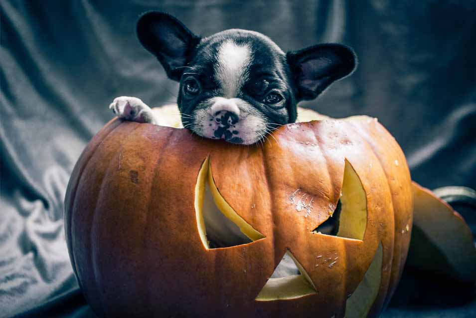 Picture of a puppy eating pumpkin