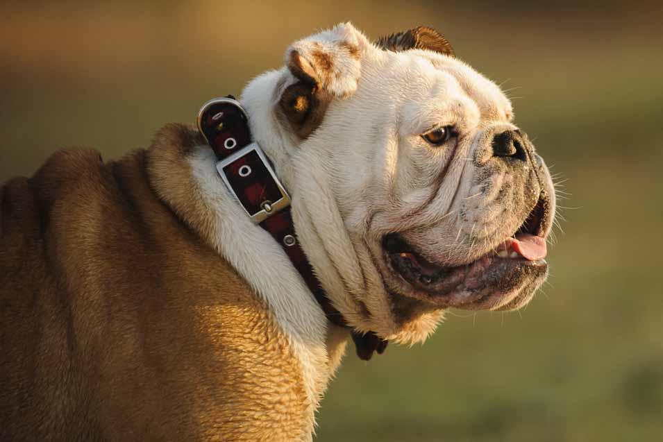 Picture of a Purebred Bulldog