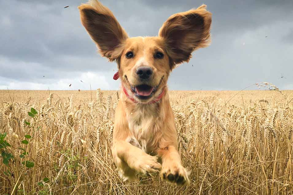 Picture of a dog running in a field