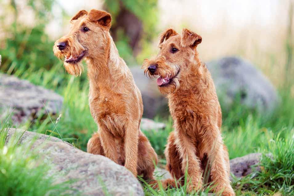 Picture of 2 Irish Terriers