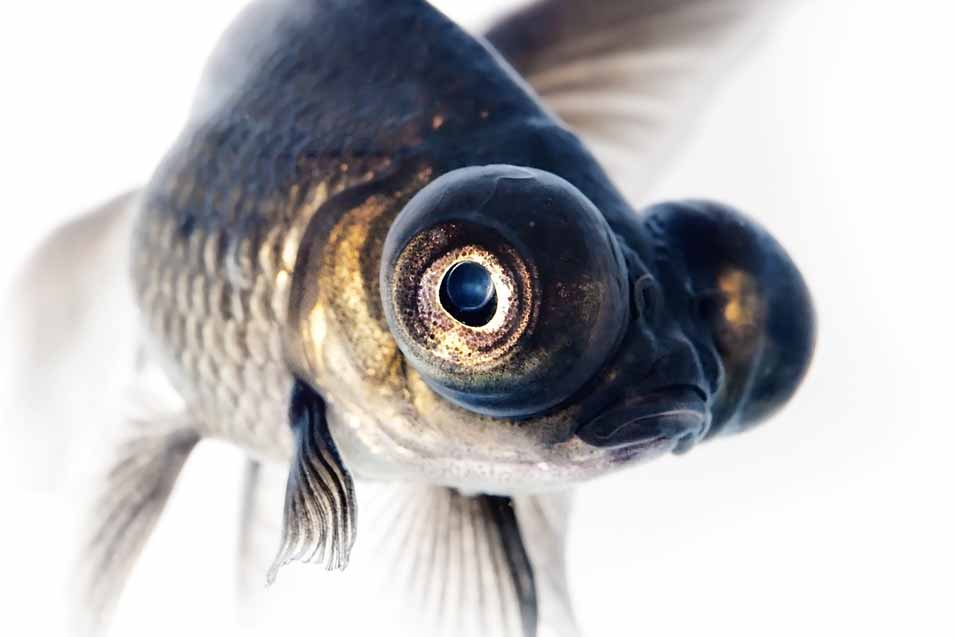 Picture of a Black Goldfish