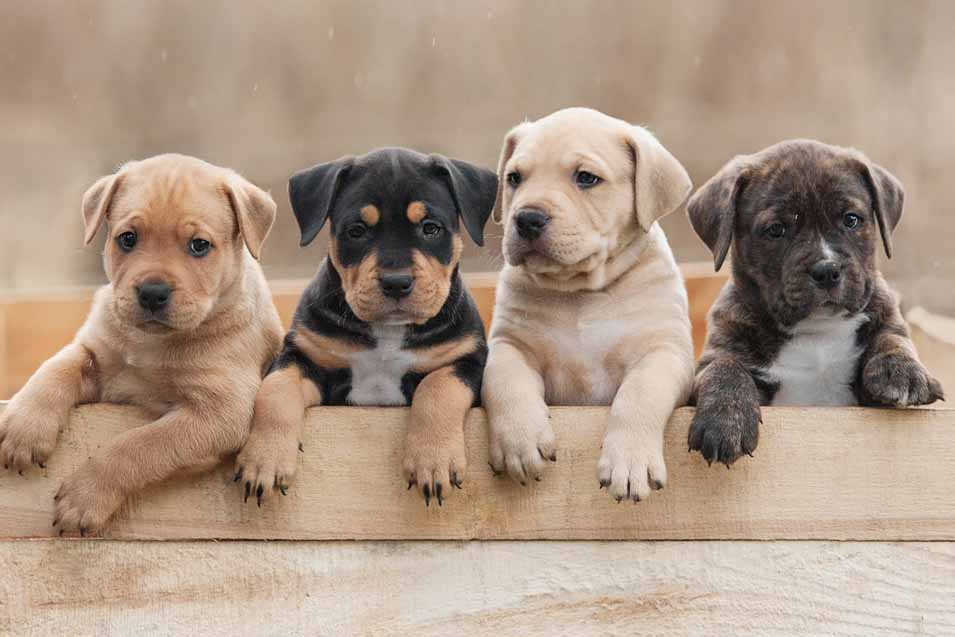 Picture of 4 puppies
