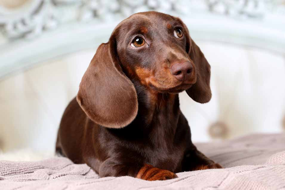 Picture of a Daschund