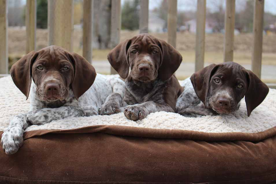 Picture of German Pointer Puppies