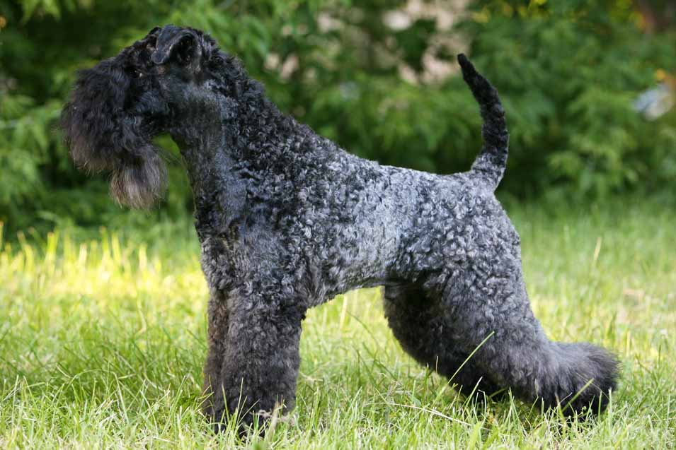 Picture of Kerry Blue Terrier