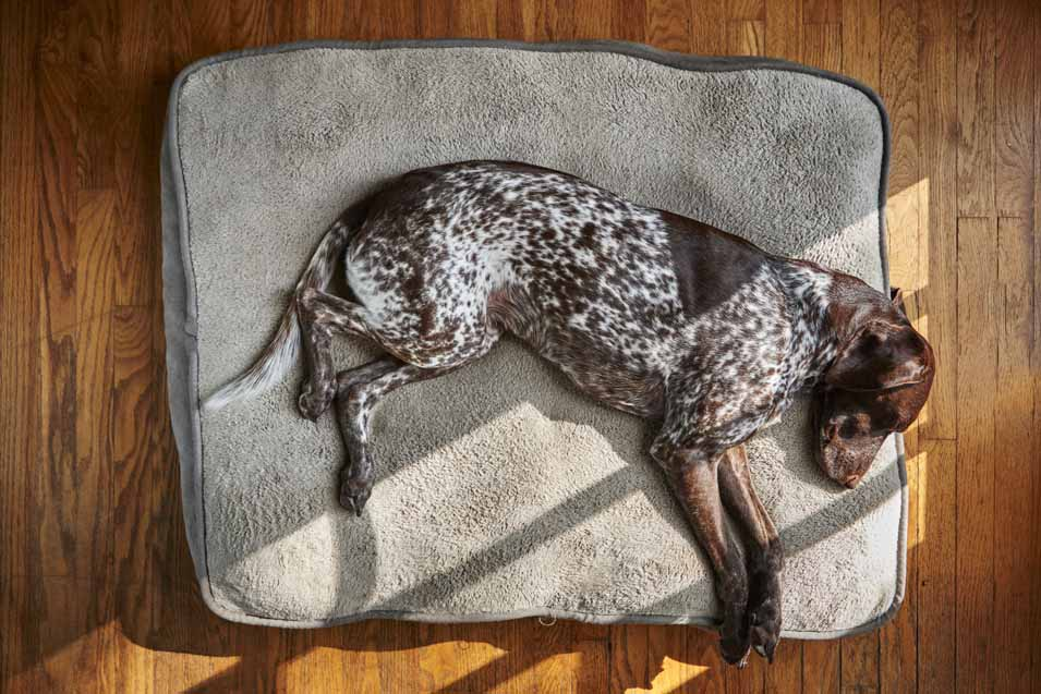 Picture of a Sporting Dog Sleeping on a Bed