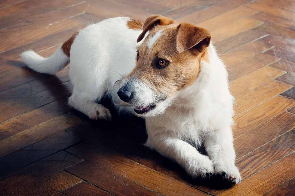 Picture of an older Jack Russell Terrier
