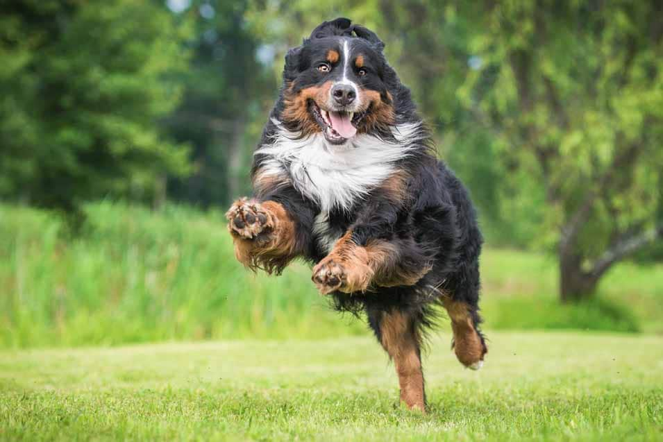 Picture of a Bernese Mountain Dog running