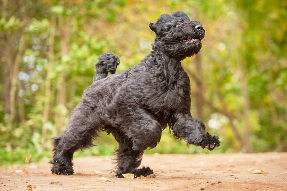 Picture of a Black Russian Terrier playing