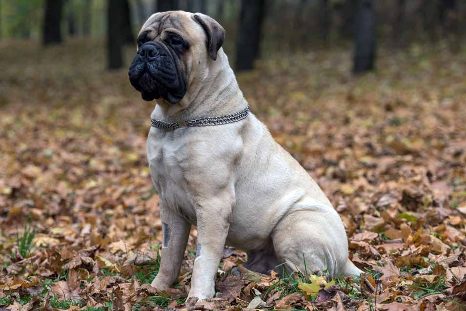 Picture of a Bullmastiff sitting on leaves