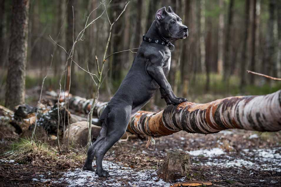 Picture of a Cane Corso in the forest