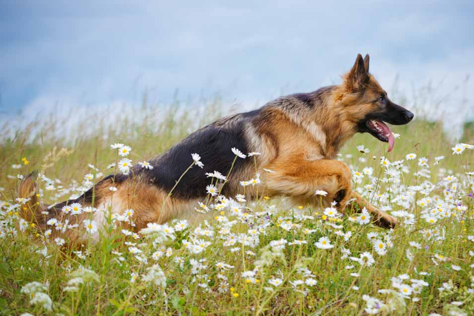 Picture of the German Shepherd running outside