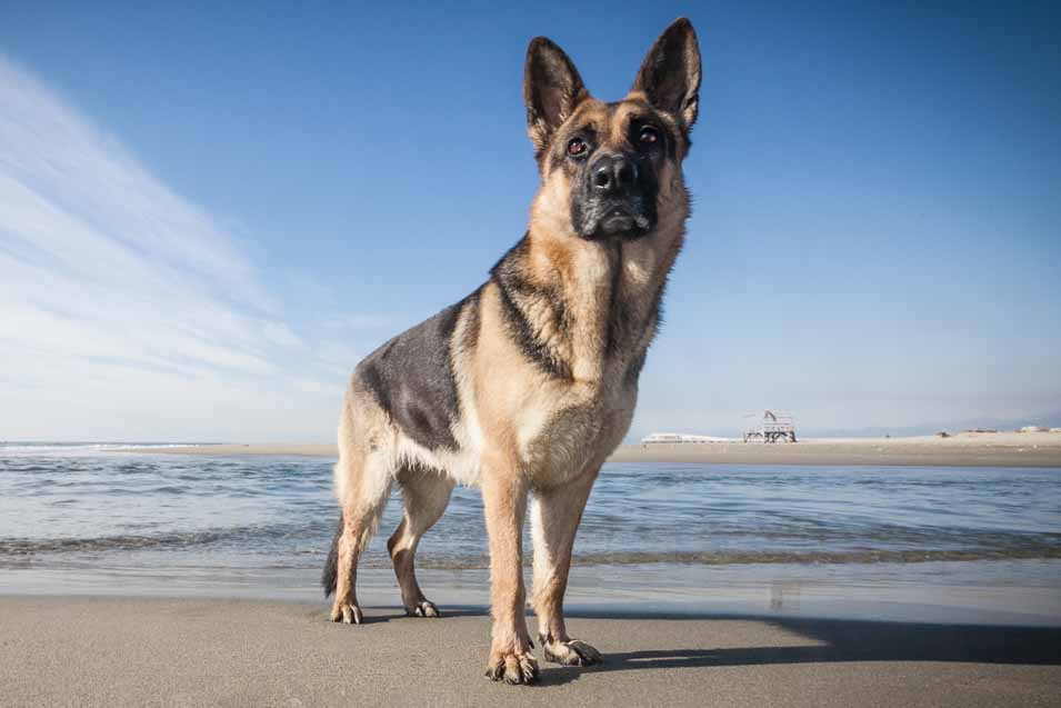 Picture of a • German Shepherd