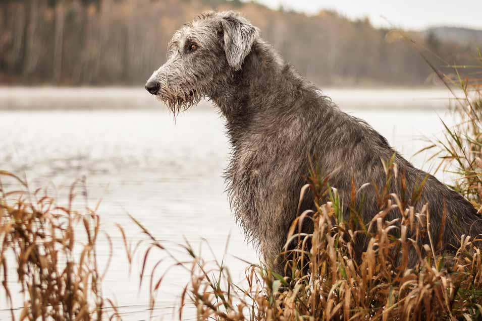 Picture of a Irish Wolfhound near a lake