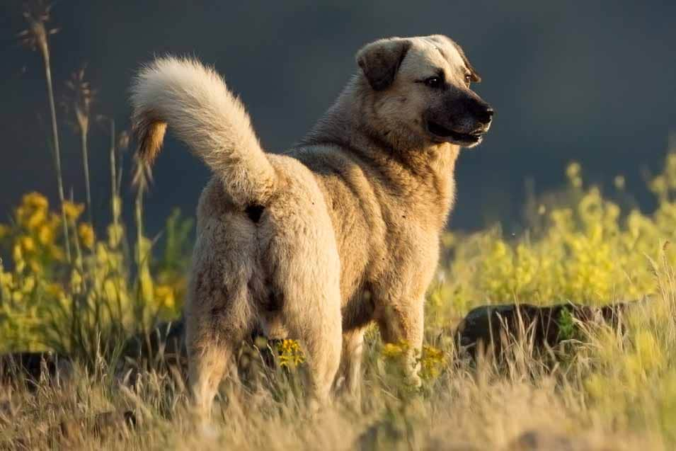 Picture of a Kangal Dog in a field