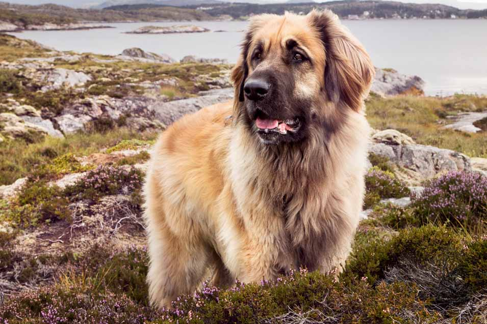 Picture of a Leonberger near water