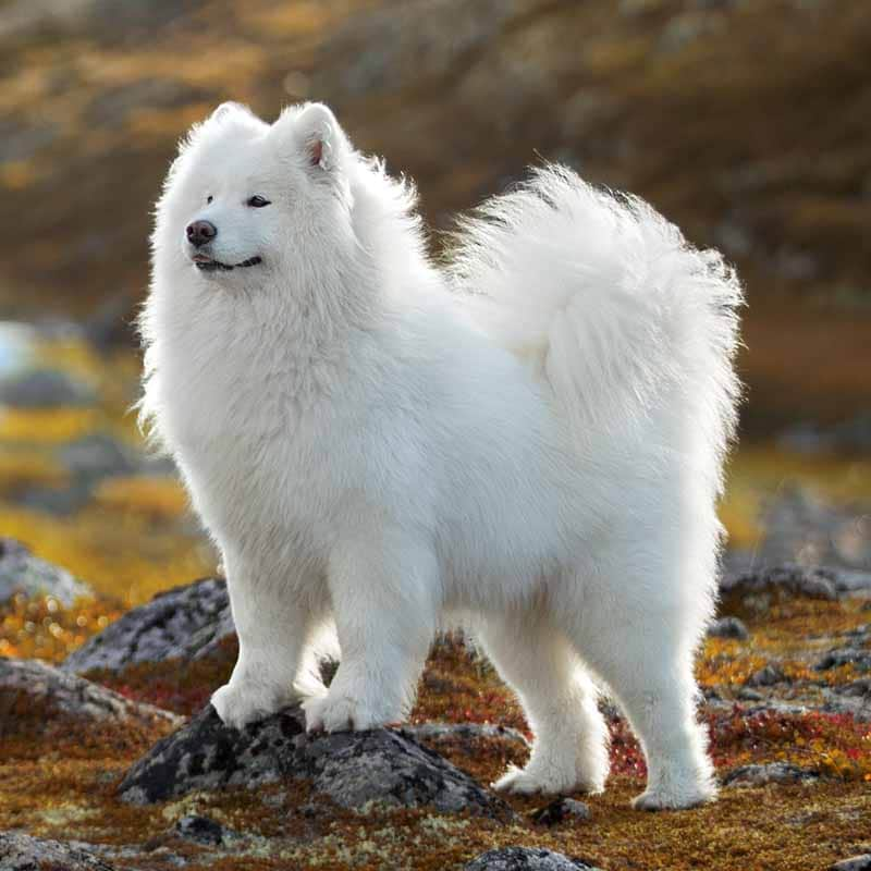 Picture of a Samoyed
