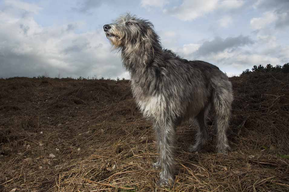 Picture of a Scottish Deerhound in a field