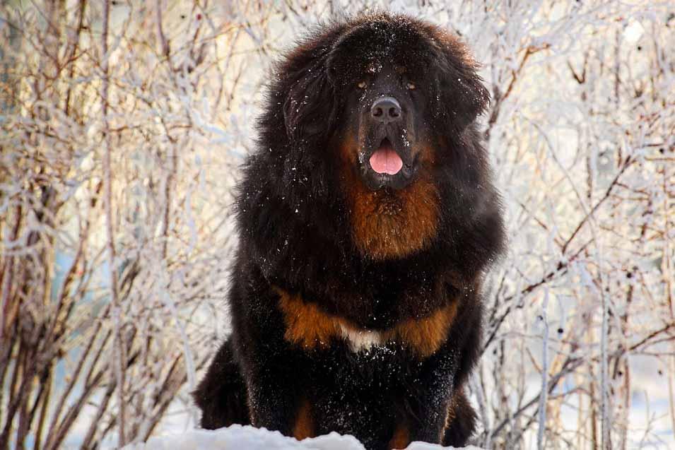 Picture of a Tibetan Mastiff