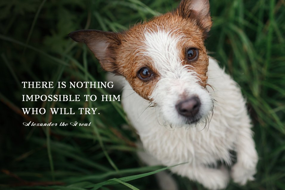 Picture of a wet Jack Russell Terrier