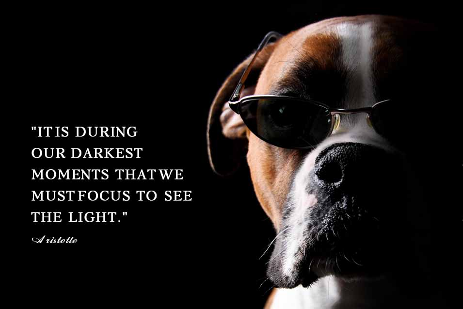 Picture of a Boxer Dog wearing sunglesses