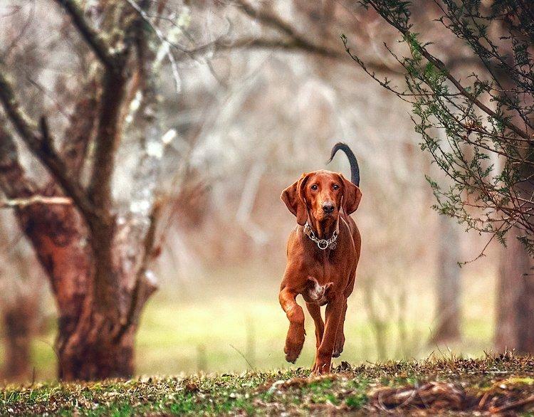 redbone coonhound breed profile